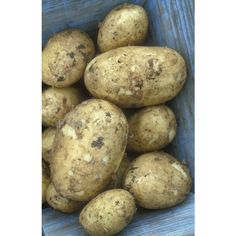 Buy Potato 'Winston' from Sarah Raven: For baking, roasting and mash. Quick to grow, hugely prolific and tastes superb straight from the ground. Planting Potatoes, Fruit Plants, Chips, Container, Baking, Vegetables, Collection, Food, Raven