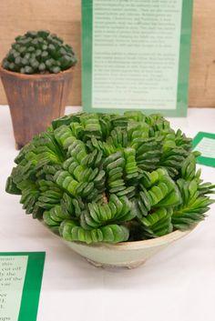 Haworthia truncata succulent