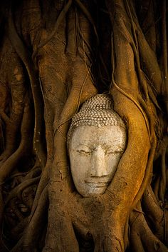 The Cycle of Life.An ancient Buddha is slowly absorbed by the forests of Ayutthaya, the original capital of Thailand