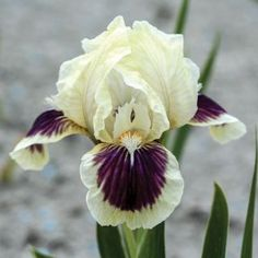 Black Cherry Delight Iris  A lovely, compact and #fragrant #Dwarf Bearded Iris with #creamy white standard petals and fall petals that are edged in #white but with a remarkable #black-purple center. #Flowers are particularly striking against the muted olive-green #foliage. A #Spring planting bulb.