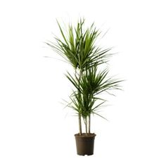 thrives in bright light & removes formaldehyde, xylene, toluene, benzene, trichloroethyne from the air. Great if you have a brown thumb for houseplants.