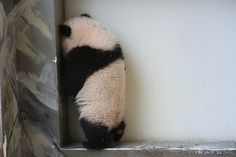 Panda time out. So cute! Funny Panda Pictures, Panda Funny, Animal Pictures, Cute Funny Animals, Cute Baby Animals, Cute Dogs, Photo Panda, Baby Panda Bears, Baby Pandas