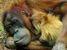 Orangutan Mama & Baby