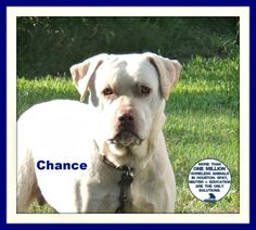 ***URGENT! 10/27/16  5/2015***Meet Chance, a Petfinder adoptable Labrador Retriever Dog | Houston, TX | Petfinder.com is the world's largest database of adoptable pets and pet care information....
