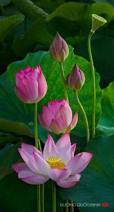 Lotus flowers .