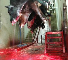 Every year, tens of millions of animals are fully conscious when their throats are cut. Heart wrenching.