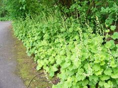 Tellima grandiflora (Fringe Cups) are found edging a shade path in Beacon Hill…