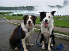 25 Reasons Why No One Should Ever Have A Border Collie As A Pet