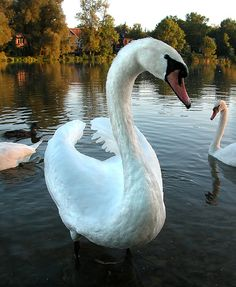Swan on River Avon, Stratford-upon-Avon, England | Shared my fish & chips dinner with them