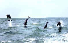 #Dolphins playing.  #St. George Island #SGI