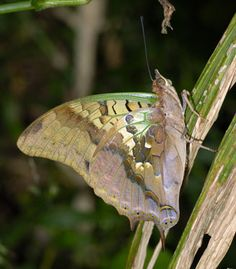 Charaxes candiope (Green-veined emperor)