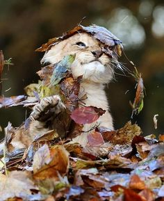 A TERRIFYING lion cub played in the leaves ...