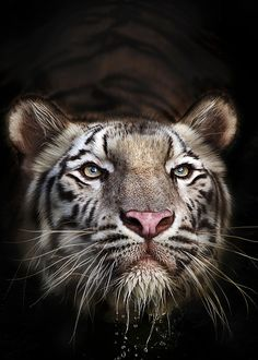 Beautiful Cats, Animals Beautiful, Cute Animals, Wild Animals, Baby Animals, Big Cats, Cats And Kittens, Gato Grande, Wild Creatures