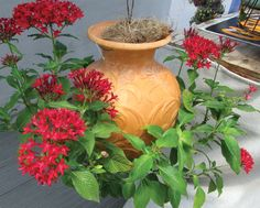 """A """"Down Under"""" pot prize winner planted with red pentas. kinsmangarden.com"""