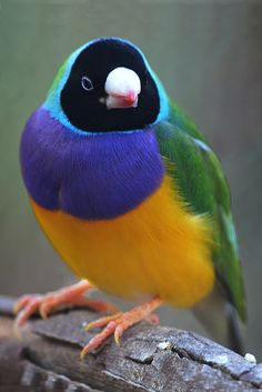 GOULDIAN FINCH - Erythrutra gouldiae. This is the most common colouring. Photo: J Allan-1, via Flickr