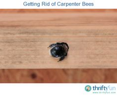 This is a guide about getting rid of carpenter bees. Carpenter bees will attack the wood trim and porches around your home making holes and tunnels for nesting.