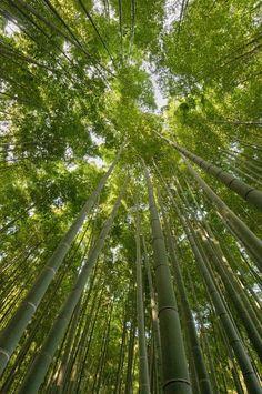 Kamakura Bamboo #Kanagawa #Japan