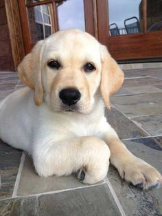 Look at that face!!! Yellow lab puppy.