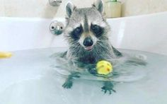 These Adorable Raccoon Pictures Will Make Your Monday! - World's largest collection of cat memes and other animals Animals And Pets, Baby Animals, Funny Animals, Cute Animals, Funny Raccoons, Strange Animals, Baby Raccoon, Racoon, Fauna