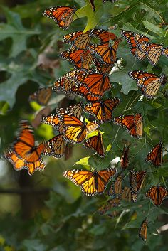 ~~36 Monarchs resting on their migration to Mexico by debbie_dicarlo~~