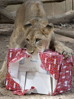 Smithsonian's lion cubs celebrating their first birthday.