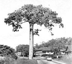 #JUEVES #DíaDelÁrbol El #CUIPO Es parte de la #Historia en #Panamá. Cavanillesia platanifolia, el Bongo, Macondo, Hameli, o Hamelí, o Pijio. Se encuentra en Colombia, Costa Rica, Nicaragua, #Panamá, Ecuador y Perú. En el #Darién #Panameño, la madera descompuesta del #árbol se utiliza como #abono de #jardín; las ramas y corteza de árboles muertos, se utiliza para alimentar cerdos.