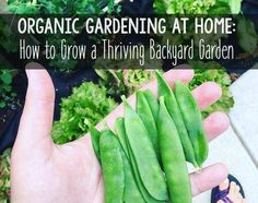 Organic gardening is a great way to have an abundance of fresh produce! Use these natural methods and tips for gardening beginners to make planning your garden, starting seeds, fertilizing, and controlling garden pests easy.