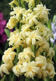 Double yellow hyacinth 'Ophir'....extremely rare!!! Old House Gardens Heirloom Bulbs