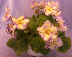 Basics of African violet care: propagation, potting, watering, grooming, and…