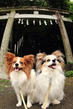 Cute Dogs - Papillon Dogs #dogs #pets #canine
