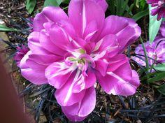 Tulip at Ladew
