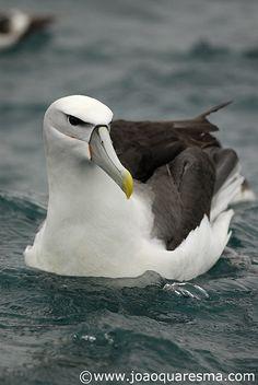 New Zealand White-Capped Mollymawk Rare Birds, Exotic Birds, Colorful Birds, Sea Birds, Wild Birds, Pretty Birds, Beautiful Birds, Kiwiana, Creature Feature