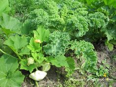 White UFO Zucchini growing next to Kales. Self Sufficient, Growing Vegetables, Kale, Zucchini, Cabbage, Around The Worlds, Clouds, Ufo, Garden