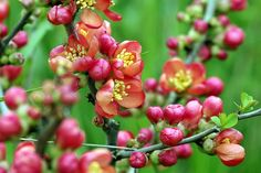 Flowers, Red, Chaenomeles, Quince, Bush, Flowering Chaenomeles, Yellow Apple, Green Fruit, Free Photos, Flowers, Red, Beading, Beads, Bokeh