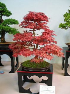 Acre Palmatum Bonsai