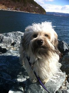 Havanese Dogs, Puppies, Photos, Animals, Cubs, Pictures, Animales, Animaux, Animal