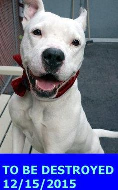 Manhattan Center – P  My name is TURKS. My Animal ID # is A1060079. I am a female white and black pit bull mix. The shelter thinks I am about 1 YEAR  I came in the shelter as a STRAY on 12/09/2015 from NY 10453, owner surrender reason stated was STRAY. http://nycdogs.urgentpodr.org/turks-a1060079/