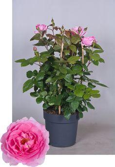 Renaissance® Collection Ghita™ Poulren013(N) Renaissance, Plants, Collection, Plant, Planets