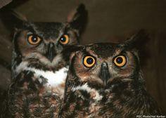 Perkiomen Watershed Conservancy #Owls