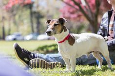 Spike, Adoptable Jack Russell | Georgia Jack Russell Rescue, Adoption & Sanctuary