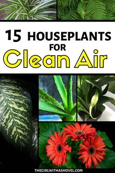 These amazing plants have been rated by NASA to be the best indoor plants that filter harmful toxins out of the air. Clean Air Plants | Clean Air Plants Houseplant | NASA Clean Air Plants | Indoor Clean Air Plants | Best Clean Air Plants | Indoor Plants Clean Air Houseplant | Indoor Plants Clean Air | Indoor Plants Clean Air Bedrooms | Small Indoor Plants Clean Air | #airpurifierplant #cleanair