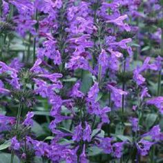 bijenplanten : Nepeta sibirica
