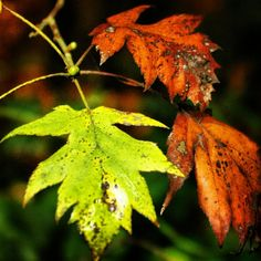 Beautiful Leaves in Valentines park! #Redbridge #essex   Follow our Instagram page here: http://instagram.com/do_morered