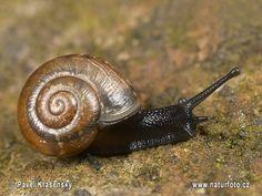 Google Image Result for http://www.naturephoto-cz.com/photos/krasensky/snail-0209.jpg