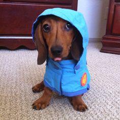 wiener dog in a raincoat...
