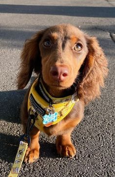 Dachshund Puppies, Dachshund Love, Cute Dogs And Puppies, Baby Dogs, Weenie Dogs, Doggies, Sausage Dogs, Cutest Dogs, Young People