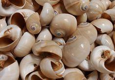 Whale Eye Moon Shells XL 5 pcs.  Polinices Didyma