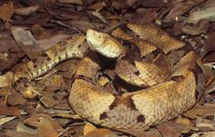 Brazil's Lancehead (Bothrops brazili)This highly venomous pit viper is named not for the country but after Brazilian physician Dr. They are found in forested habitats in Northern and. Pit Viper, Snake Venom, Planting Roses, Vertebrates, Reptiles And Amphibians, Snakes, Animals And Pets, Habitats, Animales