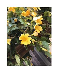 "flower overdose on Instagram: ""begonia . . . . . . . . . . . . . . . . . . . . . #gardenflowers #beautifulflowers #flowers #flower #nature #garden #flowerpower…"" Over Dose, Begonia, Flower Power, Beautiful Flowers, Garden, Nature, Plants, Painting, Instagram"