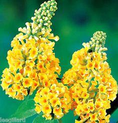 Buddleia Sungold Butterfly Bush Shrub Jumbo plug plant x 1 | eBay